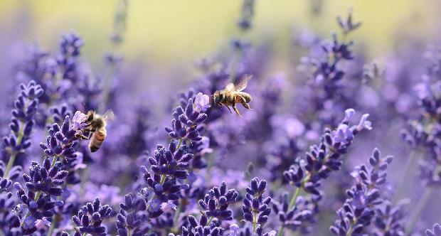 api pesticida