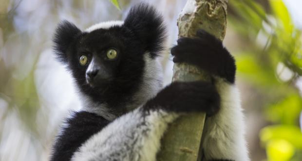Indri del Madagascar.jpg